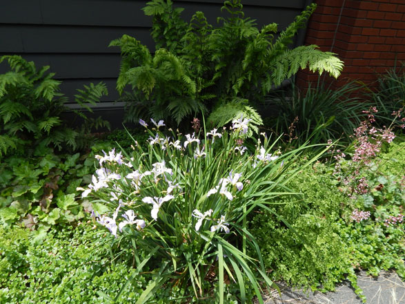 A shady bed on the east side of the building contains Douglas iris (Iris douglasiana), Heuchera maxima, and yerba buena (Clinopodium douglasii), backed by the dramatic fronds of giant chain fern (Woodwardia fimbriata). Photo: Earl Nickel