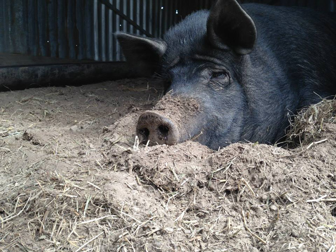 Dorris, an impressive, pregnant sow at the Fork & Hoe Collective, succumbs to one of her moods. Photo: Heather Evans
