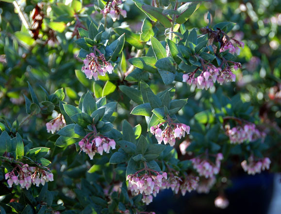 Arctostaphylos pajaroensis 'Warren Roberts' 