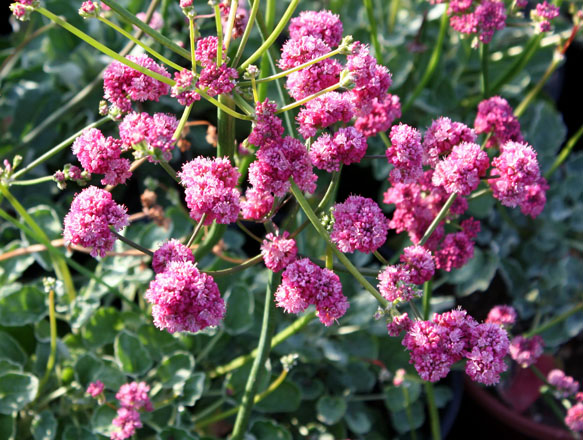 Eriogonum grande var. rubescens Photo: Pete Veilleux, East Bay Wilds