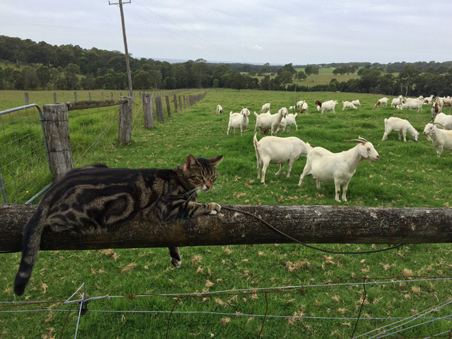 A farm cat casually assumes herding responsibilities for these goats at Meringo Creek Farm in New South Wales, Australia. Photo: Heather Evans