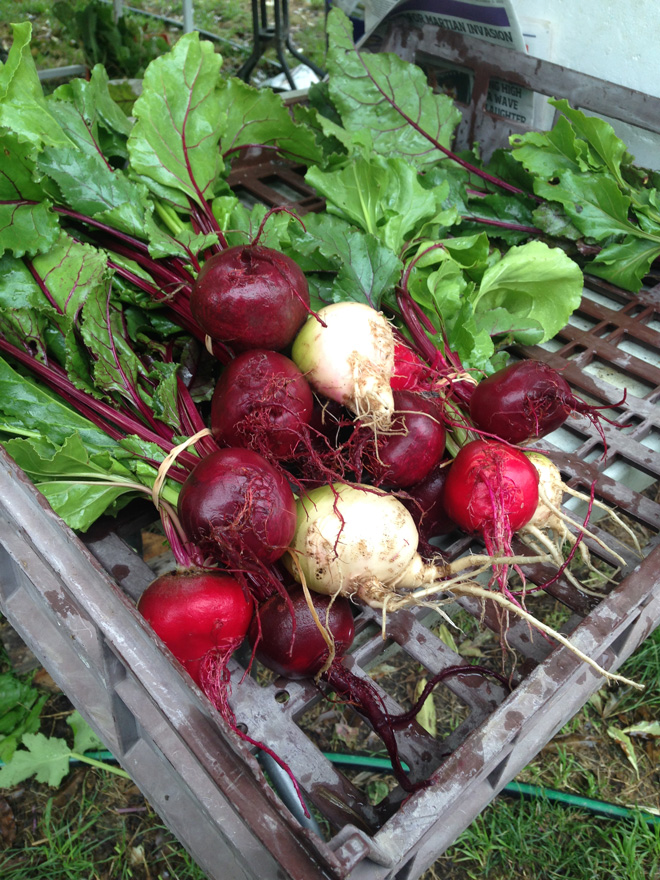 Freshly washed beets are ready to pack for market day at the Fork & Hoe Collective. Photo: Heather Evans