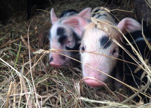 A few curious piglets from Dorris' subsequent litter of 14. Photo: Heather Evans