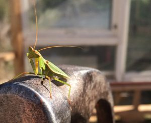 Work on the Mangarara Family Farm greenhouse was briefly interrupted by this praying mantis, proof of a lively environment. Photo: Heather Evans