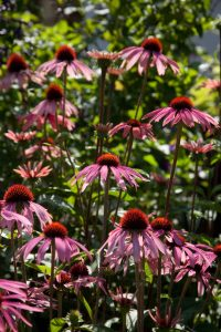 Coneflower (Echinacea sp.) Photo: courtesy of Grace Design Associates, Inc.