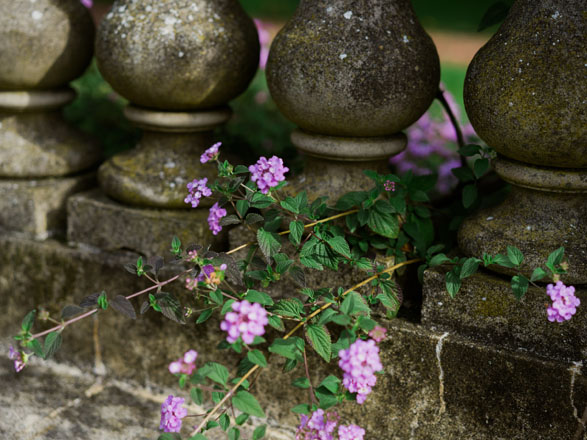 Trailing lantana (Lantana montevidensis) softens the crusty aged balustrade. Photo: Ryan Tuttle