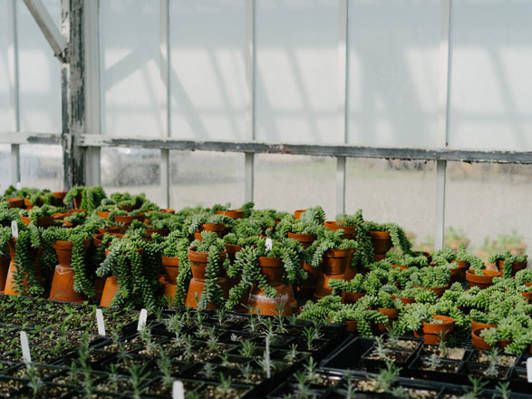 Succulents in the Filoli greenhouse. Photo: Ryan Tuttle