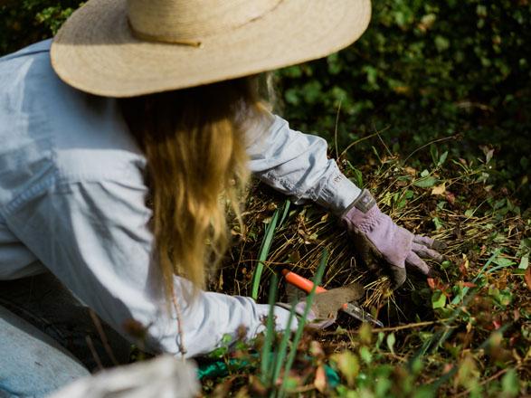 Always managing seasonal rhythms and change, Hallie carefully cuts back plumbago (Ceratostigma plumbaginoides) foliage around emerging daffodil shoots. Photo: Ryan Tuttle