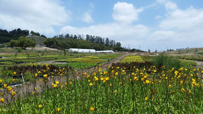 Growing fields at Greewood Daylily Gardens retain and filter polluted runoff from neighboring roads and properties. Photo: courtesy of Greenwood Daylily Gardens