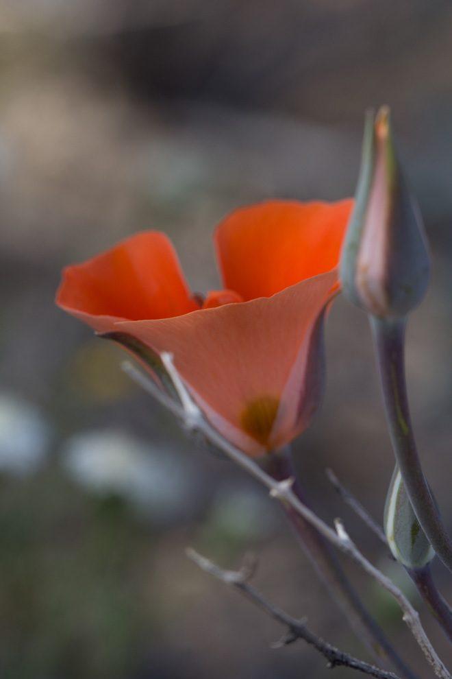 Desert mariposa lily (Calochortus kennedyi), Joshua Tree. Photo: Madena Asbell