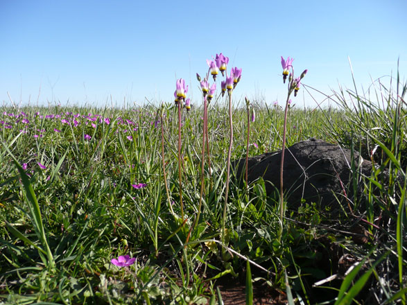 Padre's shooting star (Dedecatheon clevelandii), Santa Rosa Plateau. Photo: Madena Asbell