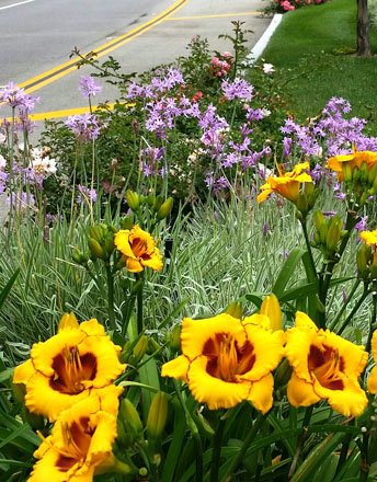 "John's introduction Hemerocallis 'Black Eyed Sun' blooms all year and is a ""bullet proof"" plant in urban environments like this median strip in Calabasas that gets irrigated with salty reclaimed water. Photo: John Schoustra"