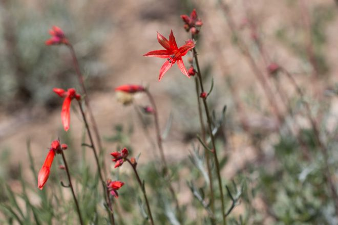 Scarlet trumpet flower (Ipomopsis aggregata), Eastern Sierra, South Lake trailhead. Photo: Madena Asbell