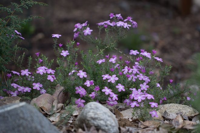 California prickly phlox (Linanthus californicus). Photo: Madena Asbell