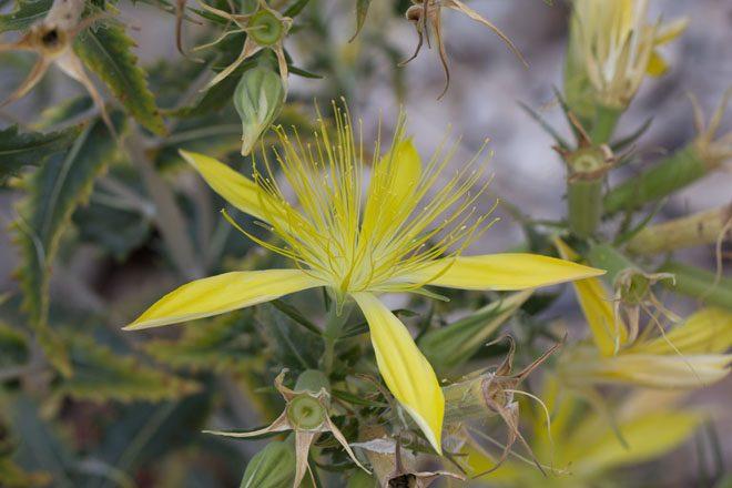 Blazing star (Mentzelia laevicaulis), Eastern Sierra. Photo: Madena Asbell