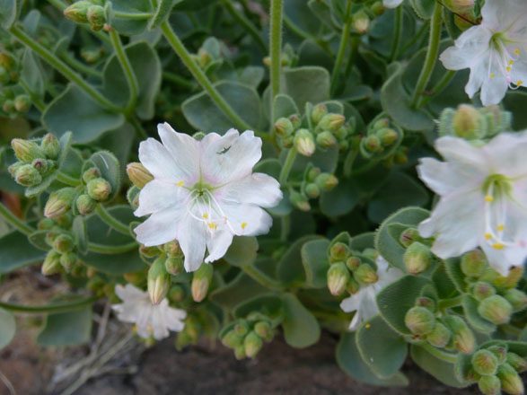 Wishbone bush (Mirabilis laevis var. villosa), Death Valley.  Photo: Madena Asbell