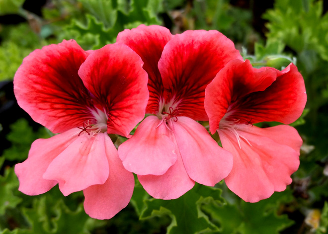 Pelargonium 'Queen of Orange', hybridized by Jay Kapac and introduced by Greenwood Daylily Gardens. Photo: John Schoustra