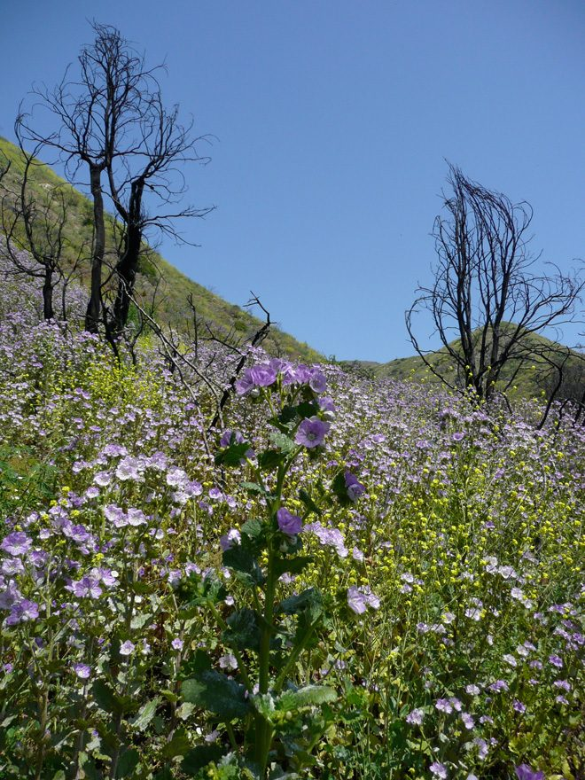 Large flowered phacelia (Phacelia grandiflora), San Gabriel Mountains, Highway 39. Photo: Madena Asbell