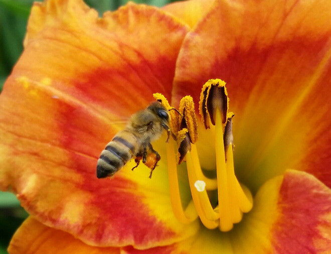 Daylilies in the landscape provide pollinator support. Photo: John Schoustra