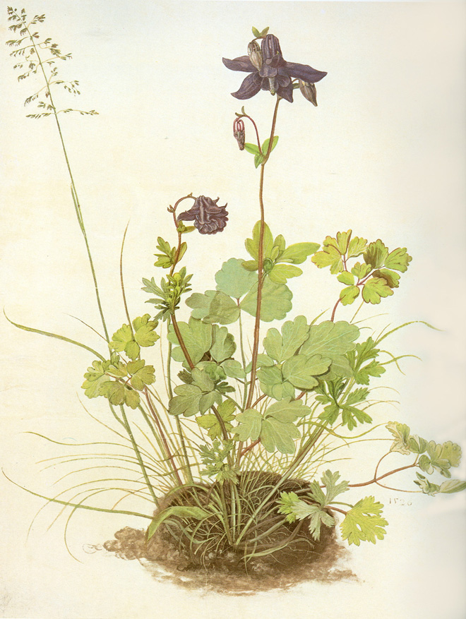 The Piece of Turf with the Columbine by Albrecht Dürer, 1526. Photo: public domain