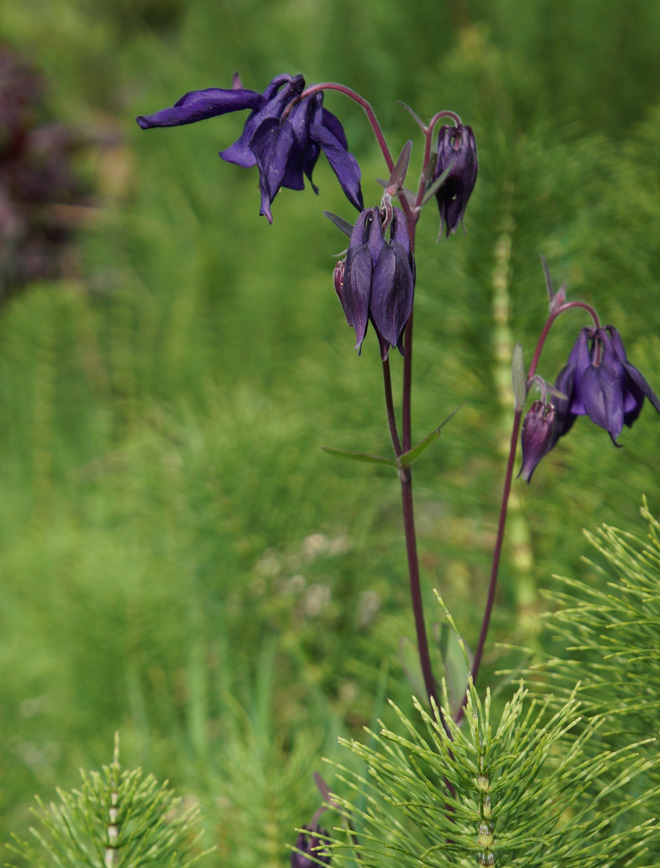 Weedy, yes! This seedling of Aquilegia atrata thrives among horsetails invading the author's gravel drive. Photo: Daniel Mount