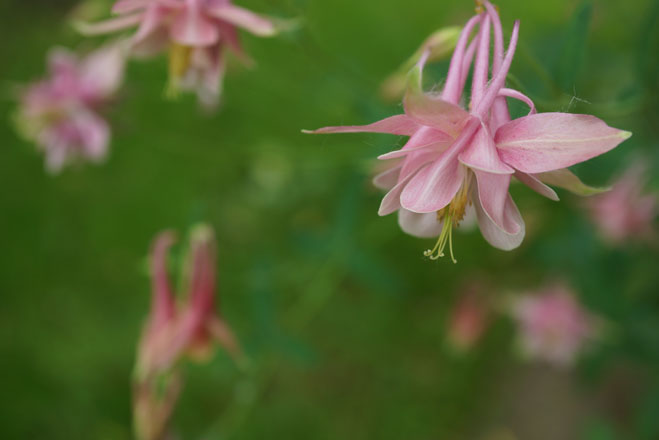 This delicate pink Aquilegia was an early contender for the name of 'Bobby Joe', or at least a possible seed parent. However, the plant must be sterile. After nearly 10 years in the author's garden, seedlings have never been found under this plant. Photo: Daniel Mount