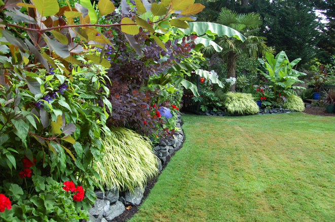 A long mixed border in the back yard is a colorful tapestry of smoke bush (Cotinus coggygria), Japanese banana (Musa basjoo), and other foliage-forward plantings, skirted by clumps golden Japanese forest grass (Hakonechloa macra 'Aureola') with  accents of bright red geraniums.  Photo: Deb Caulderon