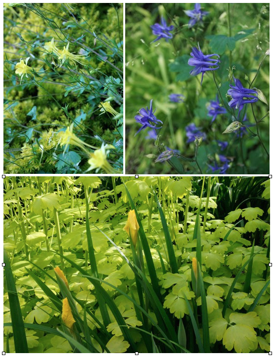Top left: The beautiful blue-green foliage of Aquilegia 'Swallowtail' contrasts with a golden dwarf Japanese yew (Taxus cuspidata 'Nana Aurescens'). Top right: A random Aquilegia atrata seedling shows evidence of its A. vulgaris parentage. Bottom: A splash of botanical sunlight in a Northwest garden is provided by the golden leaves of Aquilegia vulgaris 'Woodside Gold' and Pacific Coast Hybrid iris 'Big Money'. Photos: Daniel Mount