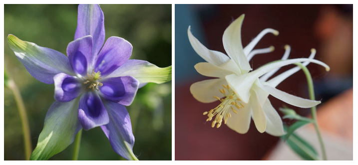 Left: This seedling bore no resemblance to any other columbine growing in the garden of the author's client; it's probably a throw back to Aquilegia vulgaris. Lovely none-the-less. Right: A random seedling of dubious origin appeared in the author's garden where there were no white or yellow columbine growing at the time. Photo: Daniel Mount