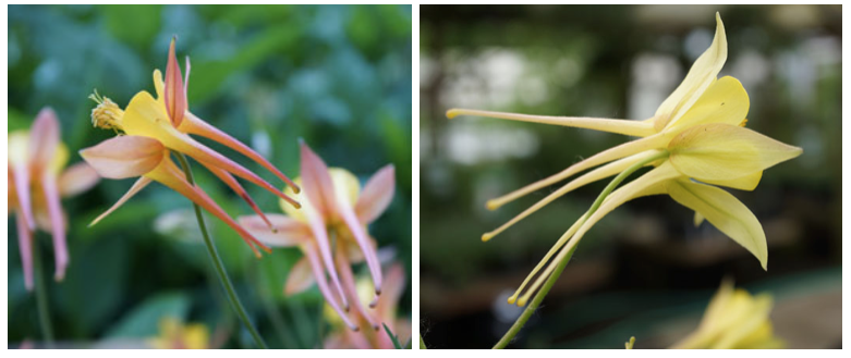 Left: Aquilegia 'Tequila Sunrise' is listed as cultivar of A. skinneri, but plantsman Robert Nold believes it is probably a cultivar of the western columbine A. formosa var. formosa. Right: Aquilegia 'Swallowtail', likely a hybrid of A. chrysantha and A. longissima, both native to the desert Southwest, is a good choice for the xeric garden. Photo: Daniel Mount