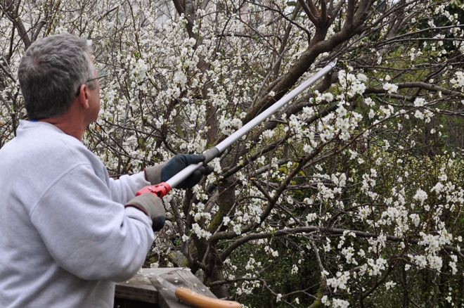 Skillful hand pruning is an important practice in a sustainable landscape. Photo: courtesy of Joh Beaudry