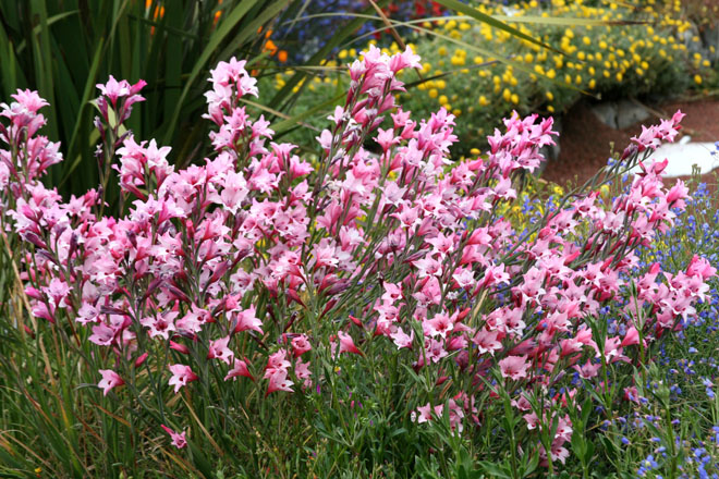 A mass planting of Gladiolus carneus.  Photo: Annie's Annuals & Perennials
