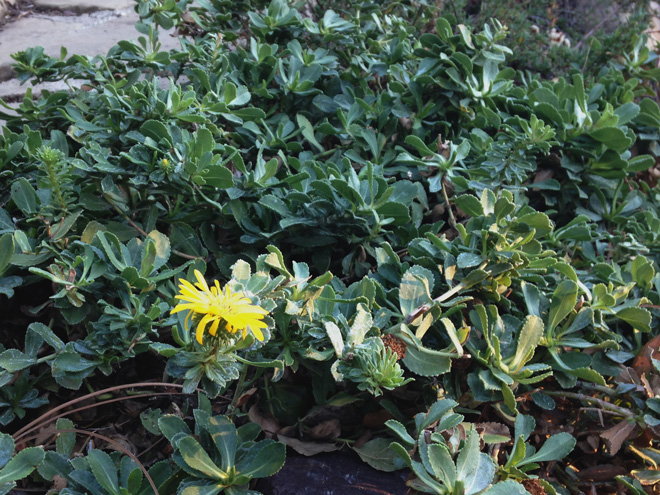 A low groundcover suitable for hot, dry conditions, Grindelia stricta ssp. platyphylla 'Ray's Carpet' requires only deadheading in late fall to look its best. Photo: Bruce Reed