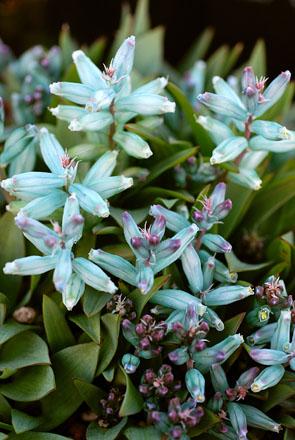 Lachenalia viridiflora.  Photo: Annie's Annuals & Perennials
