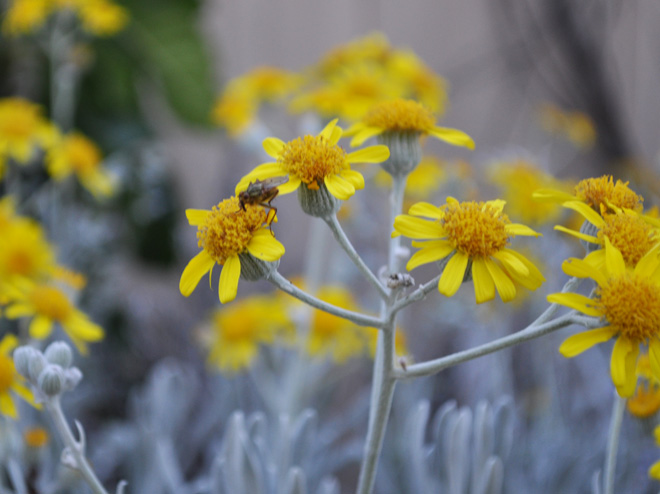 Golden-yellow blooms on Senecio palmeri 'Silver and Gold' appear on branched inflorescences in spring. Photo: Betsy Collins
