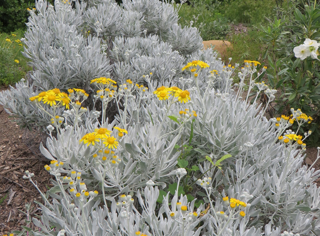 Native to Guadalupe Island off of the Baja Coast, Senecio palmeri 'Silver and Gold' grows 2- to 3-feet high and about as wide. Photo: Betsy Collins