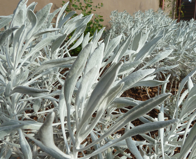Beautiful platinum-white, felted leaves are a striking year-round feature of Senecio palmeri 'Silver and Gold'. Photo: Bruce Reed