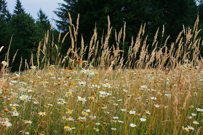 The meadow, part restoration project and part introduced plantings, is a mix of native prairie grasses, forbs and flowers. Photo: Kelly Kilpatrick