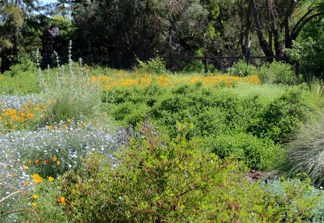 A lively meadow planted with California natives. Photo: Ecological Landscape Design