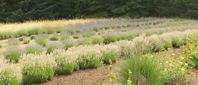 Fields of lavender hum with foraging honeybees. Photo: Tamara Paulat