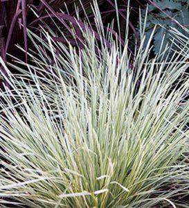 Lomandra longifolia 'Platinum Beauty'