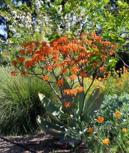 Aloe striata in spring, growing in the shelter of a chocolate persimmon tree, accompanied by Stipa giganteum, LInum lewisii, Eschscholzia californica and Dorycnium hirsutum. Photo: Jennifer Jewell