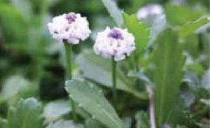 Lippia nodiflora 'Kurapia'