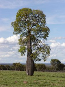 Queensland bottle tree (Brachychiton rupestris).  Photo: Wikimedia Commons