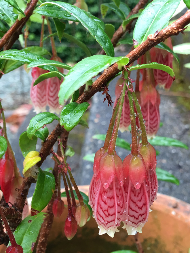 Red paperdrops (Agapetes serpens).  Photo: Lorene Edwards Forkner