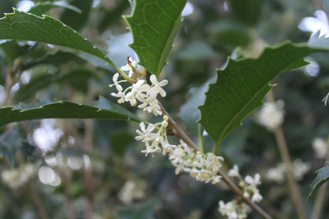 Osmanthus ×fortunei 'San Jose'. Photo: Paul Bonine/Xera Plants