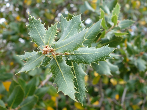 California live oak (Quercus agrifolia). Photo: Daderot/Wikimedia Commons