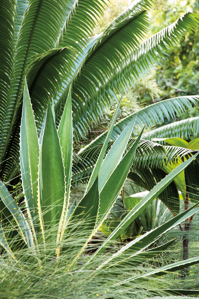 A majestic succulent, Furcraea selloa var. marginata, shows 