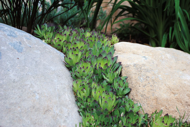 Hardy Sempervivum, pictured here rambling between boulders, 