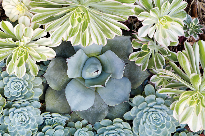 Tip: Arrange succulents like artists use paints, blending beautiful colors and shapes.  Photo: Caitlin Atkinson